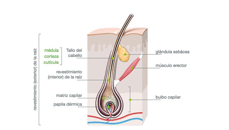 Estructura del pelo